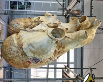 This is the heart of a blue whale, the largest animal on Earth. Weighing in at 440 lbs, the technicians at the Royal Ontario Museum in Toronto did an amazing job preserving this specimen after a blue whale carcass washed ashore in Newfoundland.